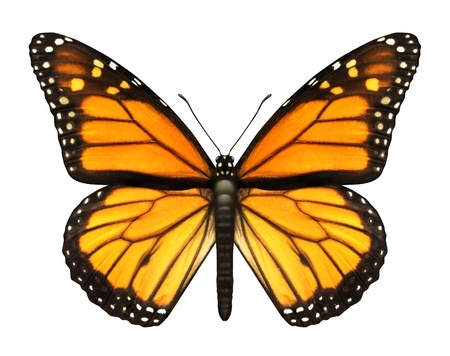 north american butterflies: Monarch Butterfly with open wings in a top view as a flying migratory insect butterflies that represents summer and the beauty of nature
