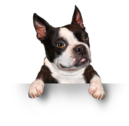 pet services: Cute dog holding a blank sign as a Boston Terrier with a smiling happy expression sending a message pertaining to pet care on a white background  Stock Photo