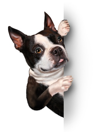 dog kennel: Dog with a blank card vertical sign as a Boston Terrier with a smiling happy expression supporting and communicating a message pertaining to pet care on white