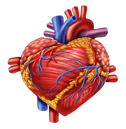 four chambers: Human heart in the shape of a love symbol using the organ from the body anatomy for loving a healthy living isolated on white background as a medical health care symbol of an inner cardiovascular organ
