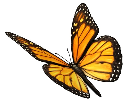 represents: Monarch Butterfly isolated on a white background angled in a three quarter view with open wings as a natural symbol of flying migratory insect butterflies that represents summer and the beauty of nature  Stock Photo