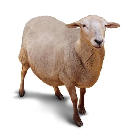 pecora: Pecore su uno sfondo bianco con un ombra come simbolo di agricoltura e di allevamento di animali da fattoria con un singolo membro del gregge perduto per un pastore