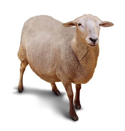 shepherd sheep: Sheep on a white background with a shadow as a symbol of agriculture and raising of farm animals with a single member of the flock lost to a shepherd