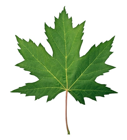 leaf vein: Green Maple Leaf as a spring and summer seasonal themed nature concept also an icon of the fall weather on an isolated white background