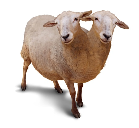 freaks: Genetic disorder and abnormality in biological DNA sequence with a farm sheep as a conjoined twin joined together in utero as a scientific and medical concept of a new breed of animal on a white background