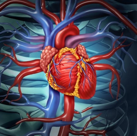 heart disease: Cardiovascular human heart anatomy from a healthy body as a medical health care symbol for the function of the  inner blood circulation organ  Stock Photo