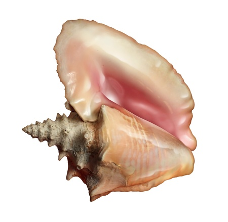 oceanography: Conch shell isolated on a white background as a sea or salt water ocean life symbol as a close up of a warm tropical beach seashell