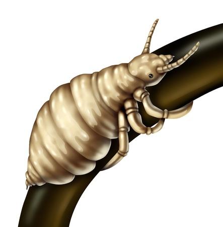 piojos: Piojos Cabello piojo par�sito en un �nico fol�culo como un primer plano de los insectos sin alas que viven en el pelo de la cabeza humana como un concepto m�dico de un futuro riesgo de infestaci�n de piojos par�sitos o huevos que eclosionan