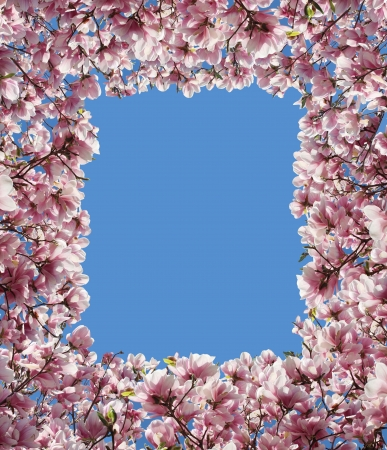 Magnolia flower border frame with pink petal blossoms from a spring tree with sprouting green leaves as a decorative design element representing the beauty of nature and rebirth Stock Photo - 19698950