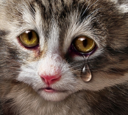 Humane: Animal abuse and pet cruelty and neglect with a sad crying kitten cat looking at the viewer with a tear of despair as a concept of the need for humane treatment of living things