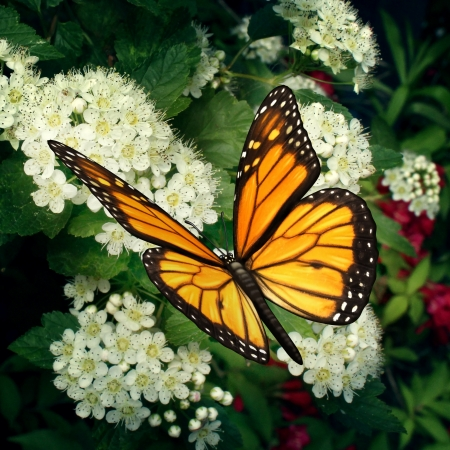 Butterfly on flowers as a monarch pollinator on white blooming outdoor plant pollinating and feeding off the flower nectar moving pollen in a natural function as a symbol of nature and healthy environment