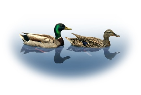 fertility emblem: Mallard duck and drake as a nature wildlife concept with male and female ducks mating couple swimming on a lake fading to a white copy space background as an icon of wild animals