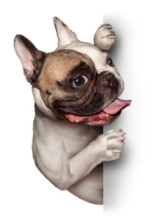 dog health: Bull Dog con una scheda segno verticale vuoto come un Bulldog francese con una felice espressione sorridente sostenere e comunicare un messaggio di pertinenza di prodotti per animali e per la cura degli animali e servizi veterinari