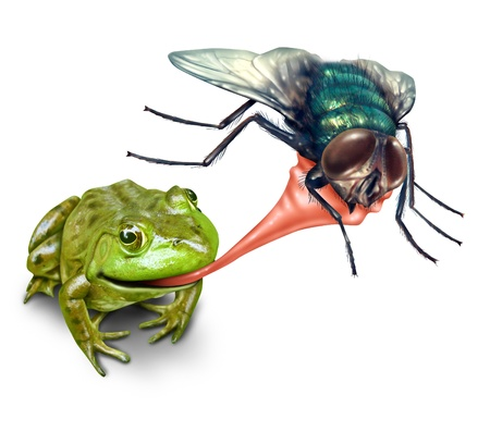 survivor: Frog catching bug with a sticky tongue shooting out as a nature concept of the natural cycle of life where a green amphibian eats a fly insect for survival on a white background  Stock Photo