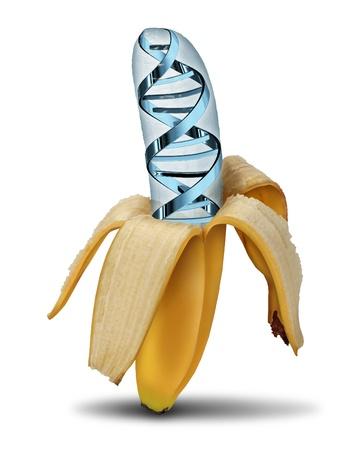 genetically modified: Concetto di alimenti geneticamente modificati utilizzando le biotecnologie e la manipolazione genetica attraverso la scienza della biologia come una banana sbucciata con un simbolo filamento di DNA nel frutto come icona di colture moderne