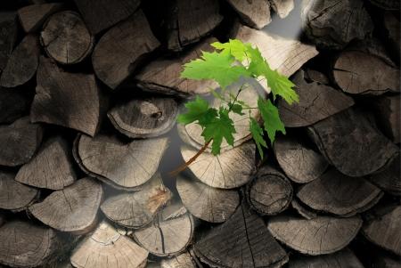 Doorzettingsvermogen en vastberadenheid business concept met gehakte bomen als brandhout met een opkomende nieuwe boom groeien uit de dood hout als symbool van onstuitbare ambities en hoop voor toekomstig succes
