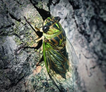 cigarra: Cicada o Cicala error de escalada tronco de un árbol después de una larga hibernación subterránea como un símbolo de la naturaleza y la educación entomología de información sobre grandes errores Foto de archivo