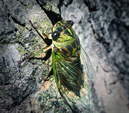 sap: Cicada or Cicala bug climbing a tree trunk after a long hibernation underground as a symbol of nature and entomology education for information on large bugs