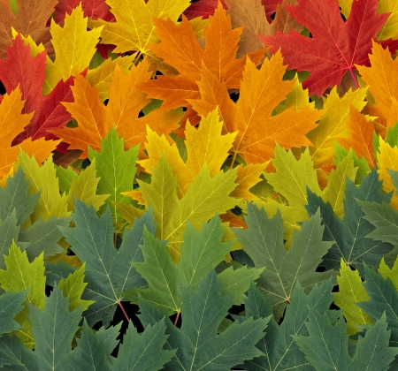 fall harvest: Autumn pattern background symbol as a seasonal themed concept and an icon of nature and the fall weather with a gredating group of red yellow and green leaves representing the coming cool weather of harvest time  Stock Photo