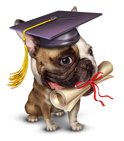Dog training pet school concept with a bull dog  wearing a graduation holding a diploma in his mouth photo