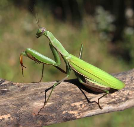 predatory insect: Praying Mantis insect in nature  as a symbol of green natural extermintion and pest control with a predator that hunts and eats other insects as an icon of entomology biology education  Stock Photo