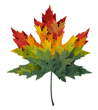 leaf vein: Seasonal maple leaf shape concept made from a group of autumn leaves as a design element and symbol of fall themed concept in an icon of the changing seasons and weather on an isolated white background