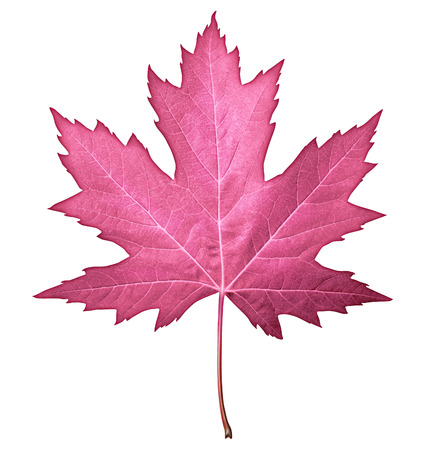 Pink leaf isolated on a white background as a seasonal autumn nature symbol and design element for fall fashion and beauty  photo