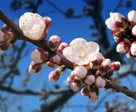 apricot tree: Spring blossom with an apricot tree budding flower Stock Photo