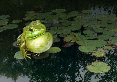 Communication skills concept as a green frog making sounds with its throat lying on a lotus leaf in a natural fresh water pond as a symbol of marketing and advertising as a business concept