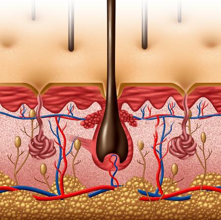 vasos sanguineos: Anatom�a de la piel concepto diagrama con una secci�n transversal del �rgano superficie del cuerpo humano con fol�culo del pelo y de los vasos sangu�neos rojos y azules como un cuidado de la salud y el s�mbolo m�dico de la funci�n anat�mica