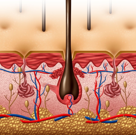vaisseaux sanguins: anatomie de la peau concept de diagramme avec une section transversale de l'organe de corps humain avec surface follicule pileux et les vaisseaux sanguins rouges et bleus en soins de sant� et le symbole m�dical de la fonction anatomique Banque d'images