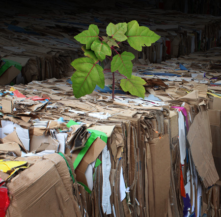 Eco friendly tree and renewable resources concept as recycling stacks of compressed corrugated cardboard and paper with a new tree sapling sprouting from the used garbage photo