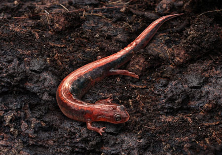eatern: Salamander in a moist cool damp forest habitat as an eastern redback crawling on an earth floor as an amphibian animal living in a northern environment as a symbol of wildlife and zoology  Stock Photo