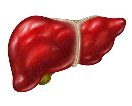 人間の肝臓のボディ部分を白で隔離されます。 写真素材