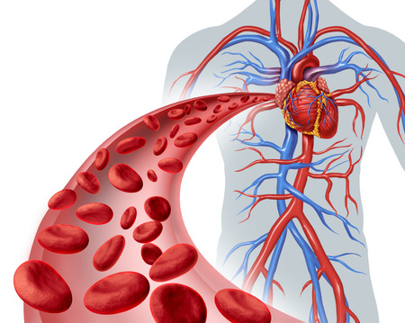 enfermedades del corazon: Corazón de la sangre la circulación símbolo de salud con los glóbulos rojos que fluye a través de tres venas dimensionales