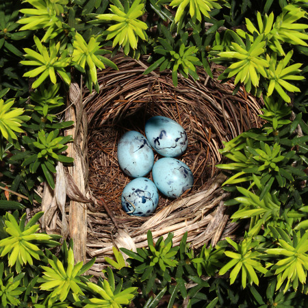 blue bird: Bird nest on pine tree branches with four blue eggs inside as a symbol of vulnerability fragility and investment safety and conservation for nature and the environment  Stock Photo