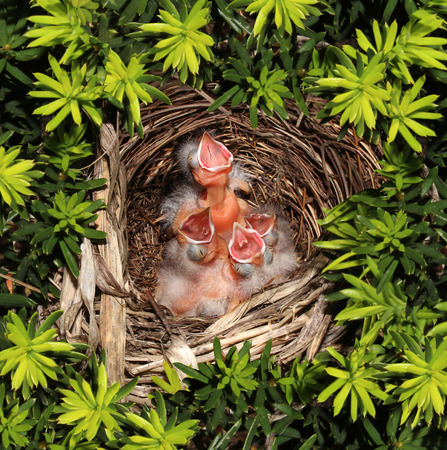 vulnerability: Chicks hatched in a bird nest  with four recently hatched young birds inside as a parenting responsibility symbol supporting and feeding your family facing vulnerability fragility and conservation