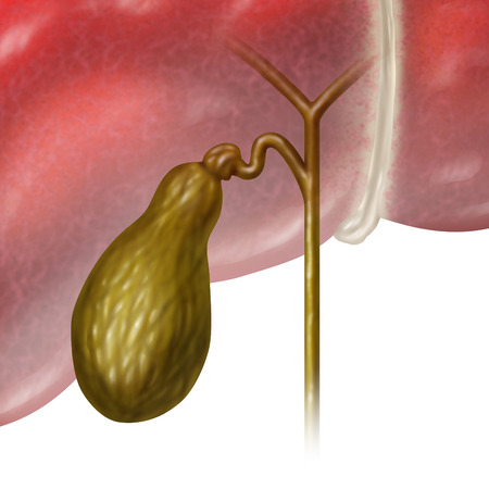 Gallbladder or gall bladder human internal organ as a function of the digestive system to store bile as part of the biliary system of the body as a medical illustration concept