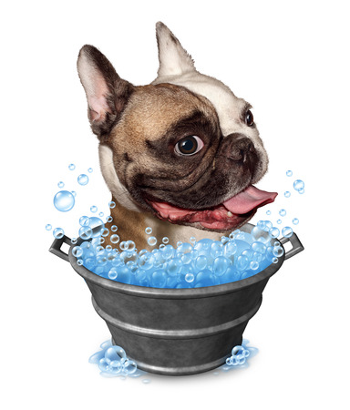 forced perspective: Dog bath funny concept as a happy bulldog in a metal bucket tub with soap bubbles on a white background as a pet grooming symbol and animal cleaning icon