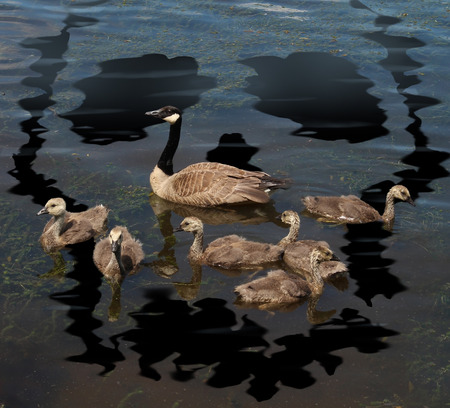 Wildlife danger and animal conservation concept as a young family of canada geese on a lake polluted from a toxic oil spill shaped as a death skull symbol as a metaphor for environmental damage to nature and the protection of natural habitat Reklamní fotografie - 30463365