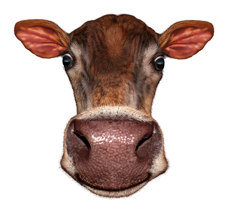 extreme angle: Cow head on a white background as a smiling fun dairy farm animal in a frontal view extreme perspective angle as a symbol of livestock and agriculture. Stock Photo