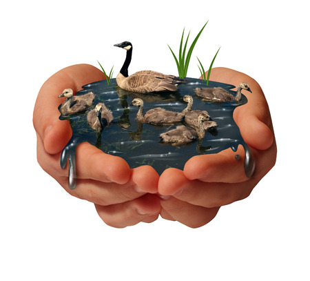 water ecosystem: Environment protection and environmental conservation concept as a pair of human hands holding a family of geese on the water as an ecology symbol of the fragility of fauna due to to shrinking habitat.