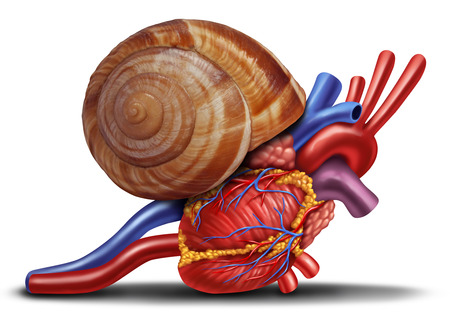slow: Slow heart rate concept as a snail shell on human anatomy from an unhealthy body as a medical health care symbol of problems with the inner cardiovascular organ.