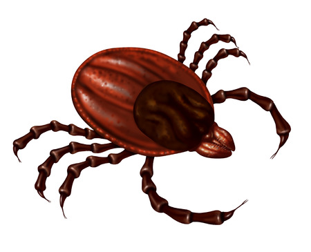dog tick: Tick insect close up illustration isolated on a white background as a symbol of a parasite arachnid that sucks blood and infects animals with bacteria and viruses with possible illness as lyme disease and fever. Stock Photo