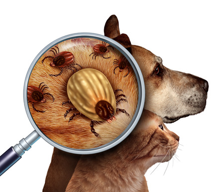 illness: Pet Tick as a group of dog and cat ticks in the fur as a close up magnifcation of a female parasite engored with blood from the host as a veterninary health care symbol for dangerous disease causing insect pests. Stock Photo