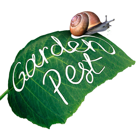 chewed: Garden pest symbol and gardening problem as a snail eating and destroying a green leaf with an eaten chewed hole with a  message of pests in agriculture and vermin destruction to plants.