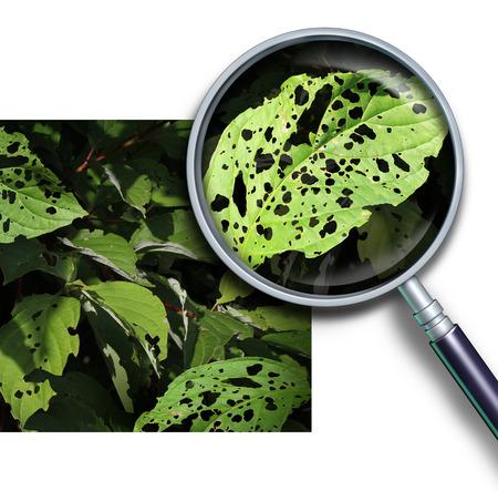 Plantenziekten begrip als een groep van beschadigde bladeren met gaten veroorzaakt door tuinongedierte als wormen en insecten larven met een vergrootglas close up van een groen blad ziek. Stockfoto