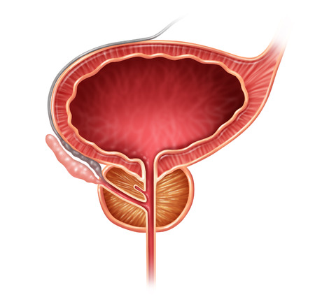 uretra: Glándula de próstata órgano sobre un fondo blanco como un concepto médico ilustración para parte de la anatomía reproductora masculina incluyendo la vejiga y la vesícula seminal. Foto de archivo