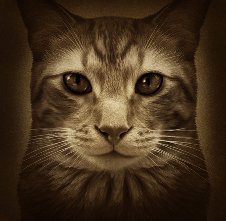 cat grooming: Cat grunge portrait as a close up of a generic furry domestic feline pet on a textured background as a kitty symbol for veterinary and grooming related services. Stock Photo