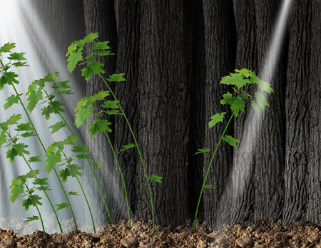 new opportunity: Finding new opportunity and independent thinker concept and new leadership symbol or individuality as a group of growing sapling trees that grow together with one individual sapling going in the opposite direction following a small beam of light.